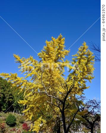 青空バックに映えるイチョウの黄葉 64961970