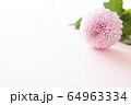 背景用 切り花 菊 64963334