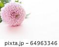 背景用 切り花 菊 64963346