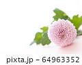 背景用 切り花 菊 64963352
