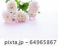 背景用 切り花 菊 64965867