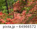 ヤマツツジの森 64966572