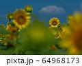 ヒマワリ畑 ひまわり 向日葵 64968173