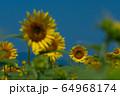 ヒマワリ畑 ひまわり 向日葵 64968174