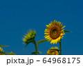 ヒマワリ畑 ひまわり 向日葵 64968175