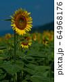 ヒマワリ畑 ひまわり 向日葵 64968176