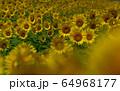 ヒマワリ畑 ひまわり 向日葵 64968177