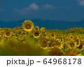 ヒマワリ畑 ひまわり 向日葵 64968178