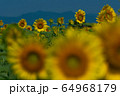 ヒマワリ畑 ひまわり 向日葵 64968179