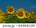 ヒマワリ畑 ひまわり 向日葵 64968180