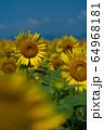 ヒマワリ畑 ひまわり 向日葵 64968181