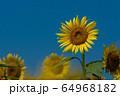ヒマワリ畑 ひまわり 向日葵 64968182