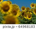 ヒマワリ畑 ひまわり 向日葵 64968183