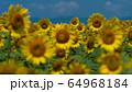 ヒマワリ畑 ひまわり 向日葵 64968184