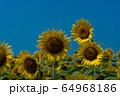 ヒマワリ畑 ひまわり 向日葵 64968186