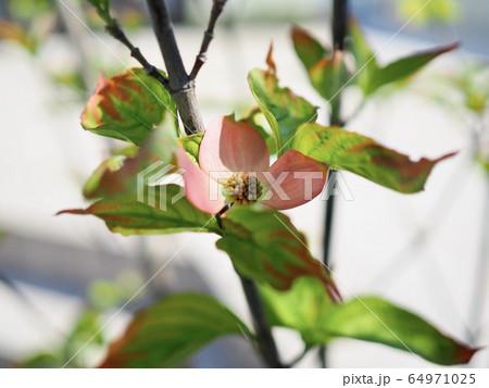 ハナミズキの花(浅い被写界深度) 64971025
