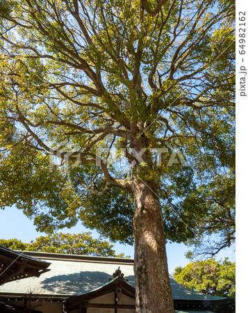 穏やかな春の鎌倉の景色 青空と大木 64982162