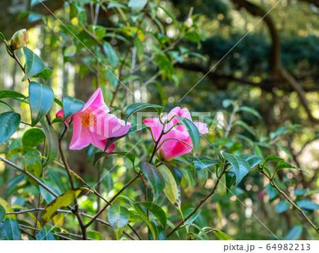 穏やかな春の鎌倉の景色 清楚なツバキ 64982213