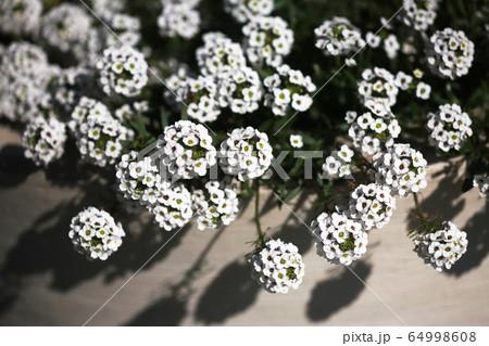 甘い香りのする花 スイートアリッサム 64998608