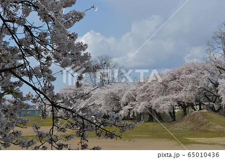 弘前大学教育学部付属小学校の校庭を取り巻く満開の桜 65010436