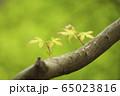 新緑 かえで 65023816