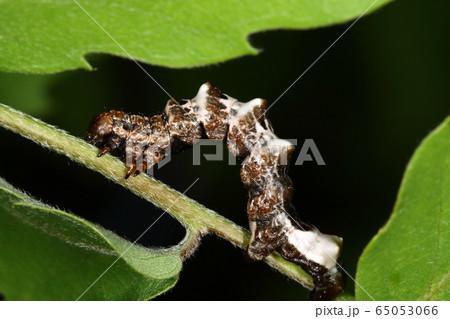 生き物 昆虫 オカモトトゲエダシャク、五月。これから蛹になりますが成虫になるのは来年春です 65053066