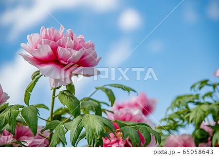 三重県 いなべ市農業公園 ぼたん園 ピンクのぼたん 65058643