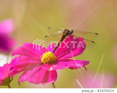 コスモスの花びらに止まる赤トンボの光景 65070414