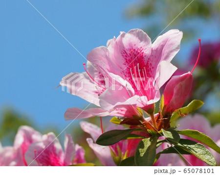 ピンクのツツジと春の空 65078101