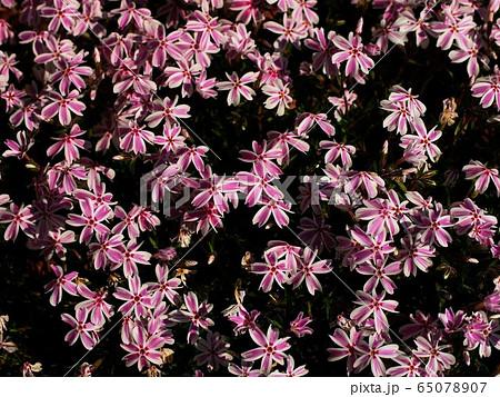 芝桜 (多摩の流れ) 65078907