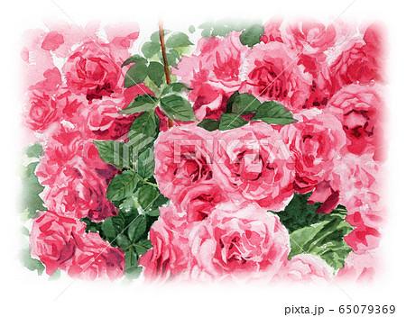水彩で描いたピンクのバラの植え込み 65079369