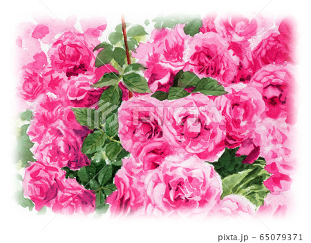 水彩で描いたピンクのバラの植え込み 65079371