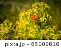Orange butterfly on yellow flowers 65109616