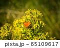 Orange butterfly on yellow flowers 65109617