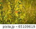 Orange butterfly on yellow flowers 65109619