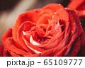 Big red rose macro 65109777
