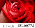 Big red rose macro 65109778