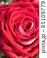 Big red rose macro 65109779