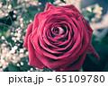Big red rose macro 65109780