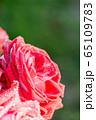 Big red rose macro 65109783
