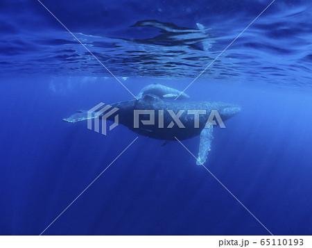 ザトウクジラの親子 65110193
