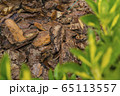 Tree bark for decoration and mulching in landscape design. Tree bark texture macro background close-up. 65113557
