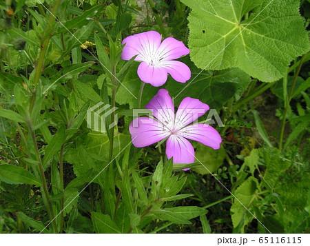 ムギナデシコの薄紫色の花 65116115