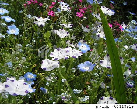 こどもの笑顔のようなネモフィラの青い花と花びらに模様の入った白いネモフィラ 65118818