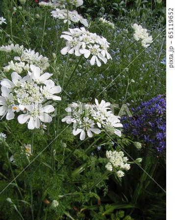 レースのような白い花はオルテアの花 65119652