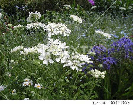 レースのような白い花はオルテアの花 65119653