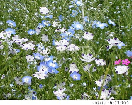 こどもの笑顔のようなネモフィラの青い花と花びらに模様の入った白いネモフィラ 65119654