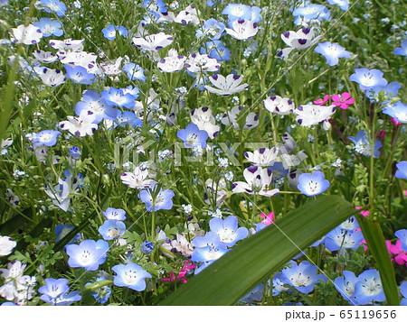 こどもの笑顔のようなネモフィラの青い花と花びらに模様の入った白いネモフィラ 65119656