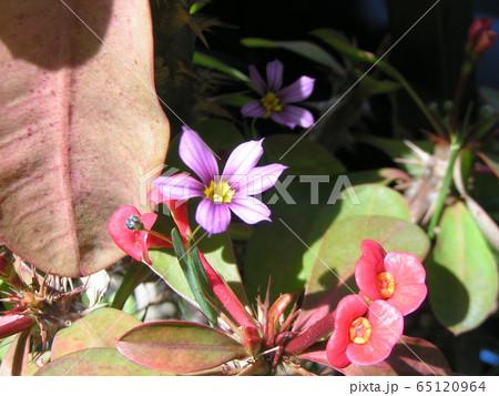 小さくても菖蒲の仲間の雑草ニワゼキショウの薄紫色の花 65120964
