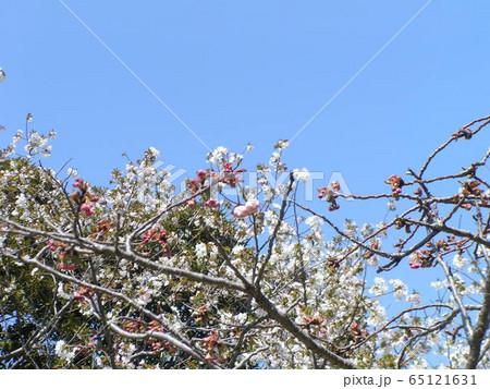 葉桜になったオオシマザクラ 65121631